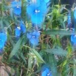 Flor silvestre en Yungay