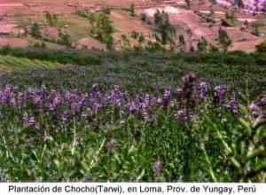 f_Plantacion de Chocho en Loma