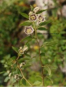 Jaltomata Yungayensis, crece en la quebrada de Llanganuco