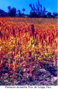 Plantacion de quinua